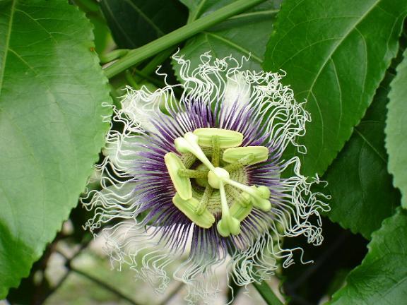 Purple Possum LIVE PLANT Passion Fruit Flower Passiflora Edulis